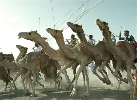 camel oman race horse faster racing which win animal would country mile globalgayz camels gay articles countries such popular sport
