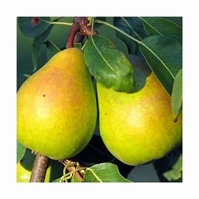 Poirier Colonnaire Londres Nues Racines Fruitiers Arbres