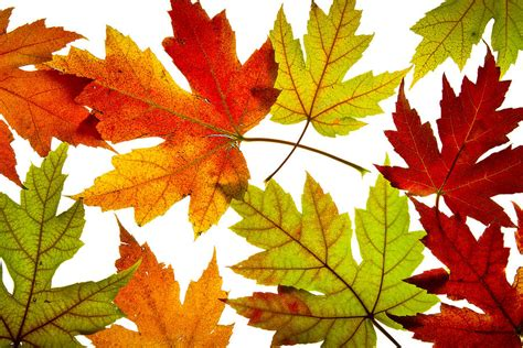 Shower Curtains Canada Online by Maple Leaves Mixed Fall Colors Backlit Photograph By David Gn