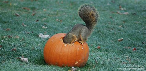 Does Hairspray Keep Squirrels Away From Pumpkins by How To Recycle Halloween Pumpkins For Wildlife The