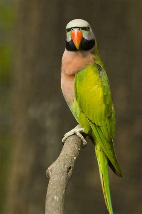 fabulous moustache parakeet parrot httpsacasadomago