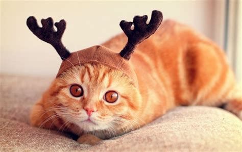 reindeer cat wallpapers