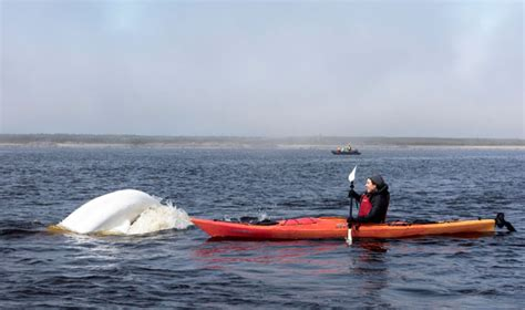 Ultimate Sw Adventures Boat Tour by Historic Churchill Manitoba And Beluga Whale Polar
