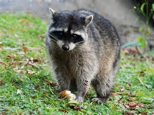 Raccoon Funny Animals