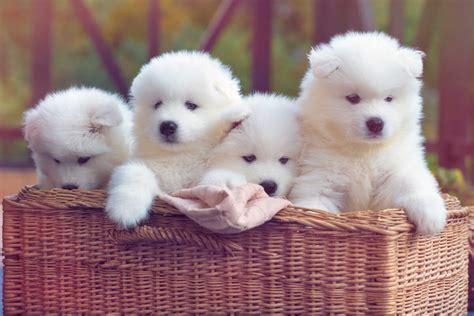 Samoyed Dog Breed Everything About Samoyeds