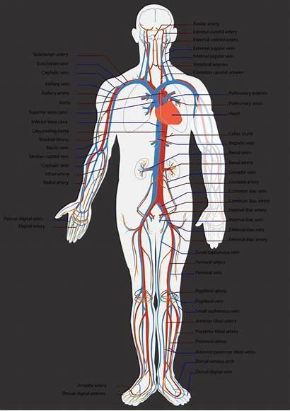 Arteries Circulatory System Heart Many Human Artery