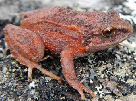 frog species discovered illinois wesleyan professor news