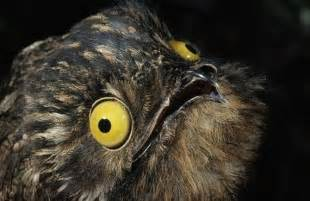 the potoo is the funniest looking bird you will see