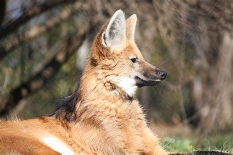 The Maned Wolf Wallpapers High Quality Download Free
