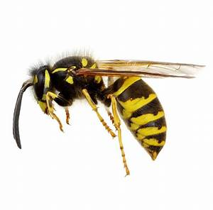 Learn about Nature | Difference Between Bees, Yellow ...