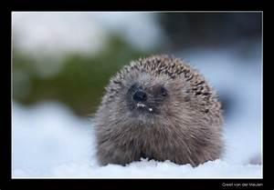 0637 hedgehog showing teeth photo - Greet van der Meulen ...