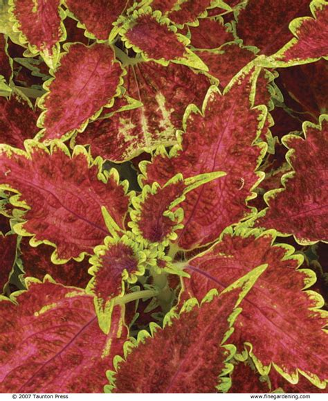 coleus cultivars sizing up coleus finegardening