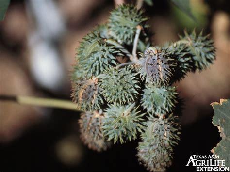 plants  texas rangelands castor bean