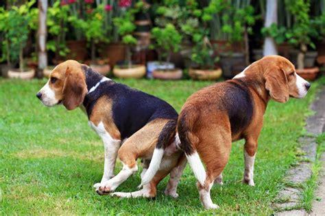 por  los perros se quedan pegados cuando se aparean