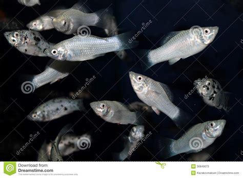 white molly aquarium fish stock image image  freshwater