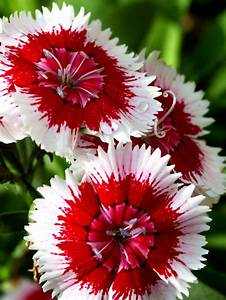 Red and White Dianthus | Flowers | Pinterest