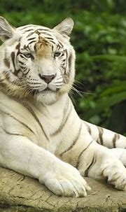 White Tiger HD Funny Wallpapers ~ Funny Wallpapers