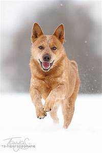 Australian cattle dog, Cattle dogs and Cattle on Pinterest