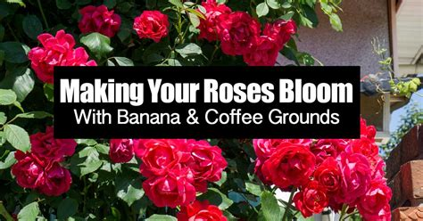 Coffee grounds are actually good for roses. Are Coffee Grounds Good For Roses And Bananas Too?