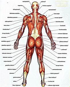 Lower Back Bones Anatomy - Human Body Anatomy System