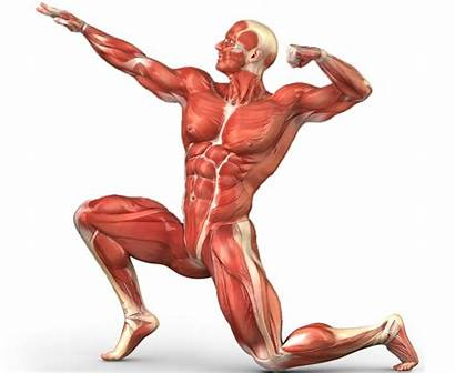 Musculoskeletal System Clipart Muscle Transparent Webstockreview Humano