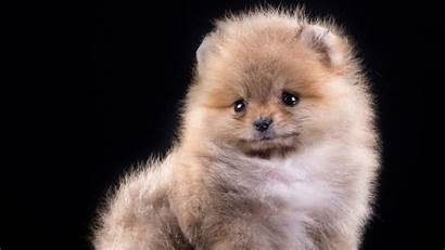 Puppy Wallpapers Pomeranian Wallpapertag Iphone