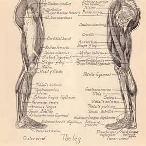Vintage Human Anatomy Muscles