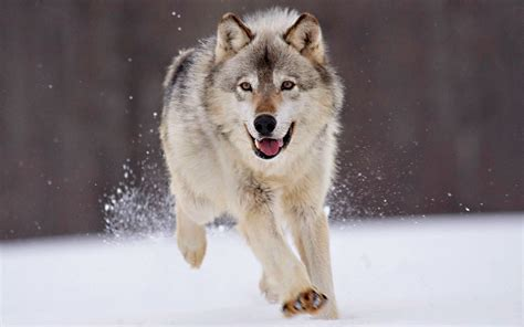 Wallpapers Wolf Wallpapers