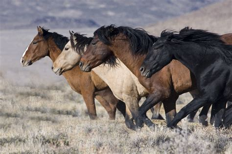 wild horse burro running crisis reining gainesville ocala event idaho blm research