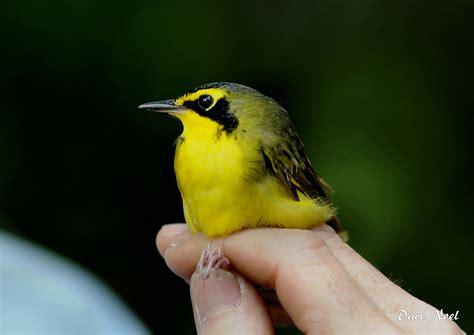 kentucky warbler birds by dave