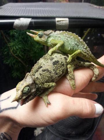mt meru dwarf jacksons chameleons  sale