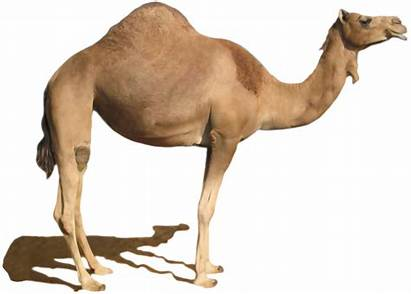 Camel Desert Clipart Dromedary Clip Bactrian Animal