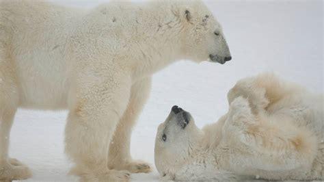 Polar Bear Q&A of the Day: Where do polar bears live ...
