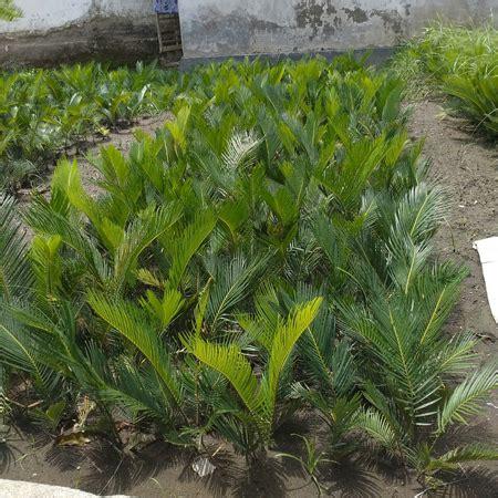 merawat tanaman hias sikas agro bibit id