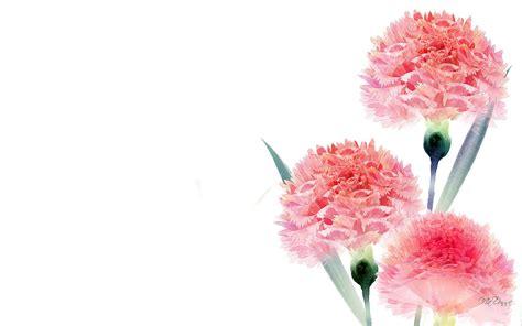 frosty pink carnations hd wallpaper  wallpaperscom