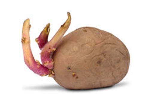 tubercule de pomme de terre de germination sur le blanc