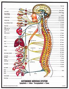 Peripheral Nervous System Diagram For Kids
