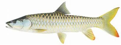 Mahseer Bhutan Fish Golden Tor Mahaseer Conservation