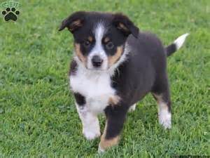 Blue Heeler Border Collie Shedding by Border Collie And Blue Heeler Puppies In