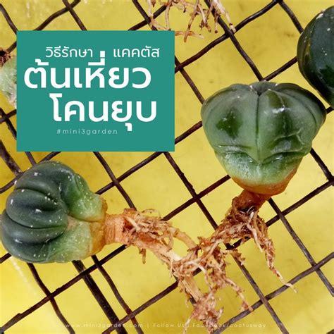 รักษาต้นแคคตัส กระบองเพชร เหี่ยว โคนยุบ   ถาด, สวน