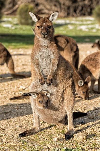 Kangaroo Island Australia Kangaroos Airport Andrea Bay