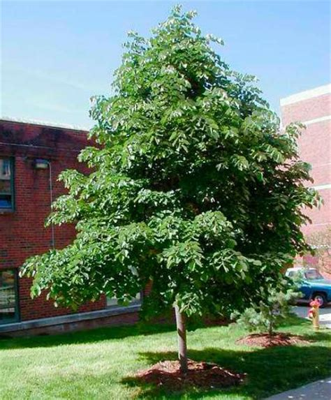 small shade trees ornamental shade tree 100 images jim whiting nursery and garden center in rochester mn best