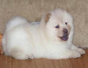 Chow Chow Puppy FOR SALE ADOPTION from Louisiana Louisiana ...