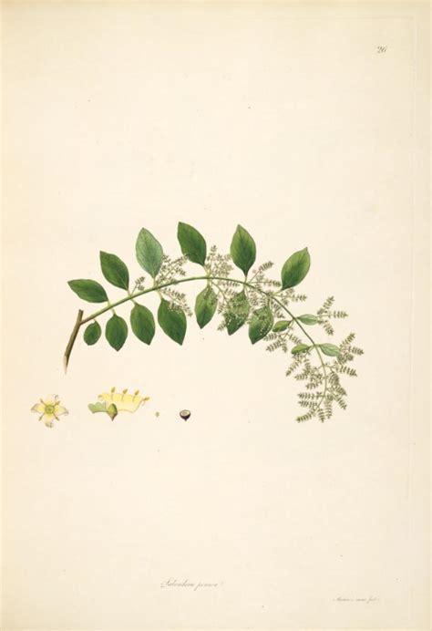 salvadora persica wikipedia