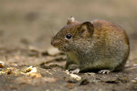 How To Protect Tulip Bulbs From Voles