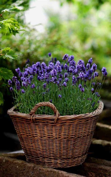 lavande en pot lavande en pot comment la planter et en prendre soin