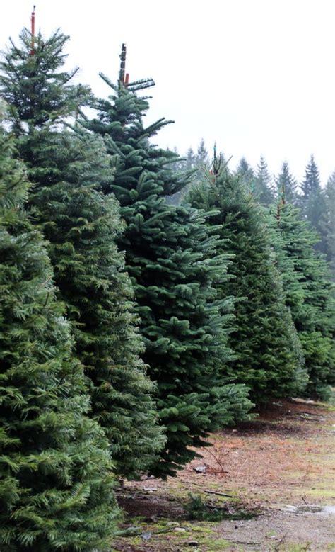 christmas tree farm redland oregon bacon s tree farm trees 9381 w