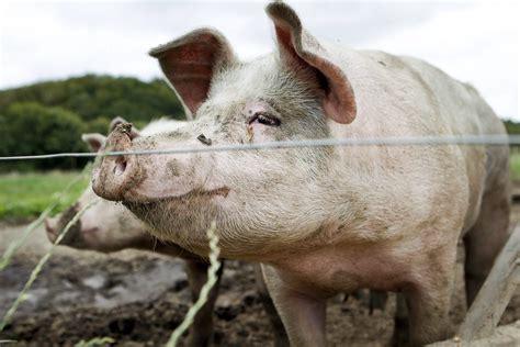 Danske landmænd vil producere svin uden antibiotika ...