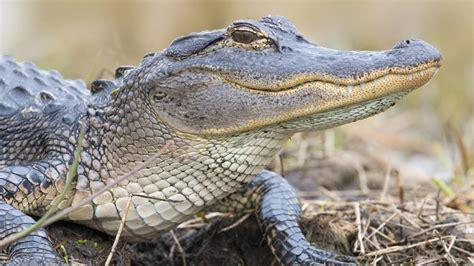 fast  alligators run  land referencecom