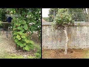Tailler Les Kiwis : comment planter un arbre kiwi youtube ~ Farleysfitness.com Idées de Décoration